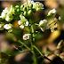 TRAISTA-CIOBANULUI: plantă medicinală care reglează circulaţia sângelui. Este recomandată în HIPERTENSIUNEA ARTERIALĂ, cât şi în HIPOTENSIUNE