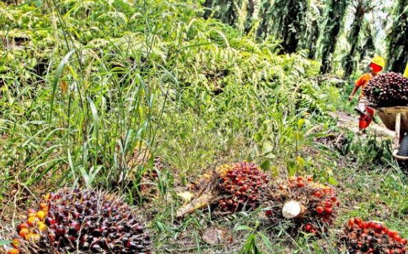 Menlu Janji Kepentingan Kelapa Sawit Akan Menjadi Prioritas