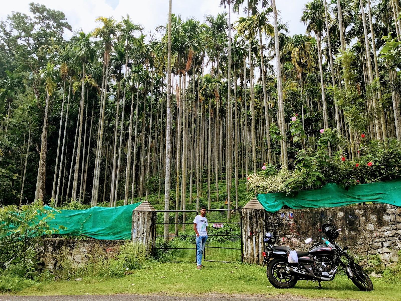 Betel Nut trees
