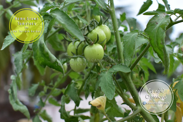 Home-grown Tomatoes (Terrace Gardening)