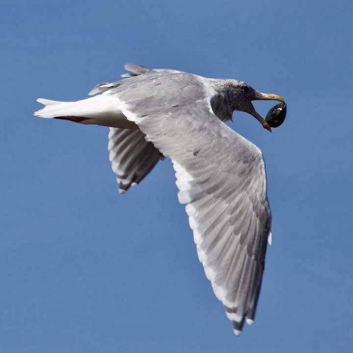 Thayer´s gull