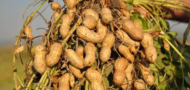 دراسة جدوى مشروع زراعة الفول السودانى 2020