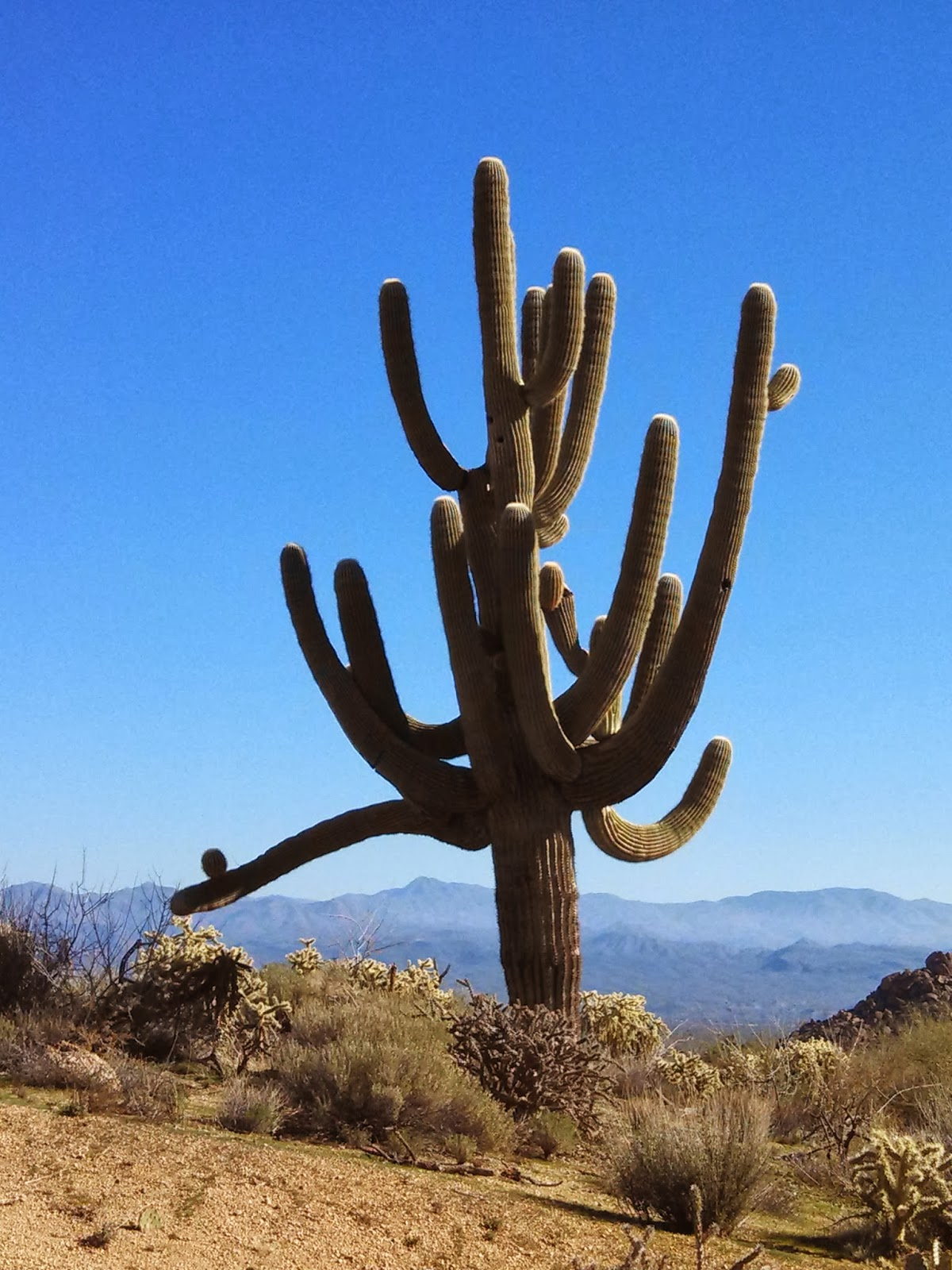 The mighty saguaro cactus is a native of the Sonoran Desert, located in southern Arizona and California as well as much of Mexico. (Photo by Kristy McCaffrey, author of Into the Land of Shadows.)