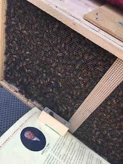 installing carniolan bees