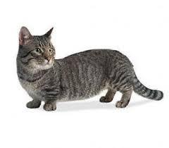Kucing Munchkin dan Karakteristiknya