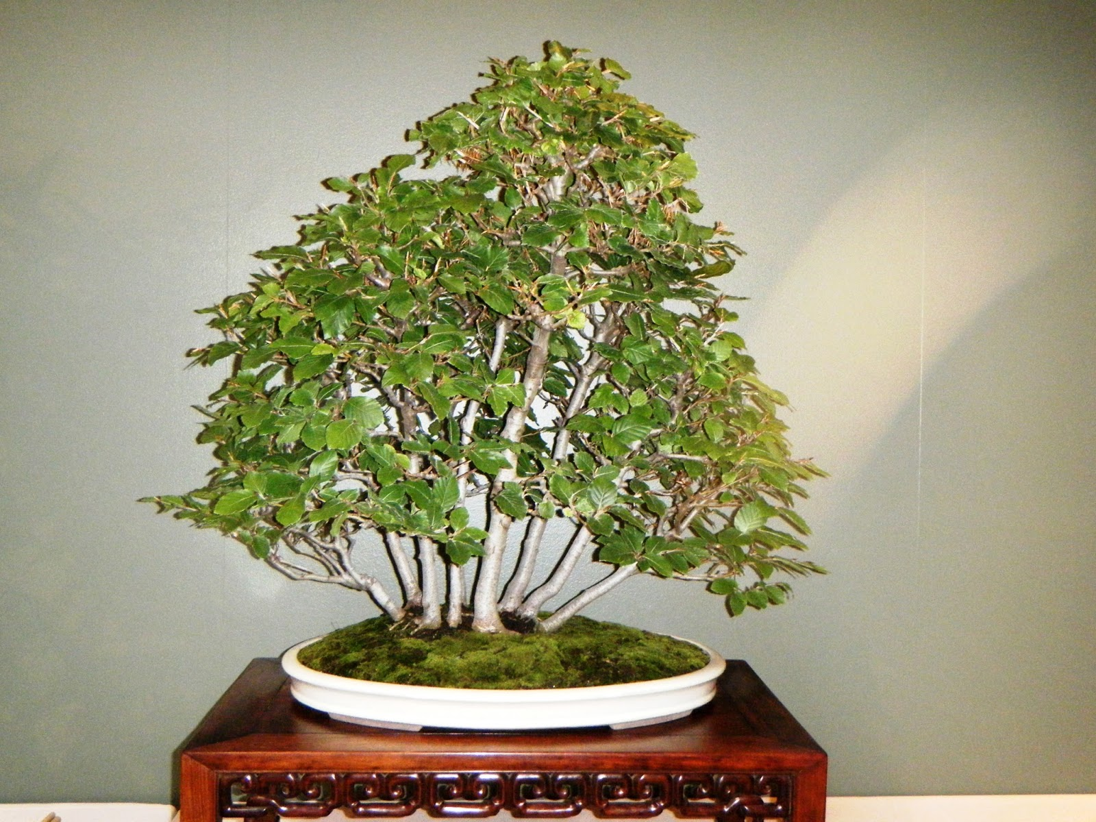 Bonsai In Hoosierland August 2016