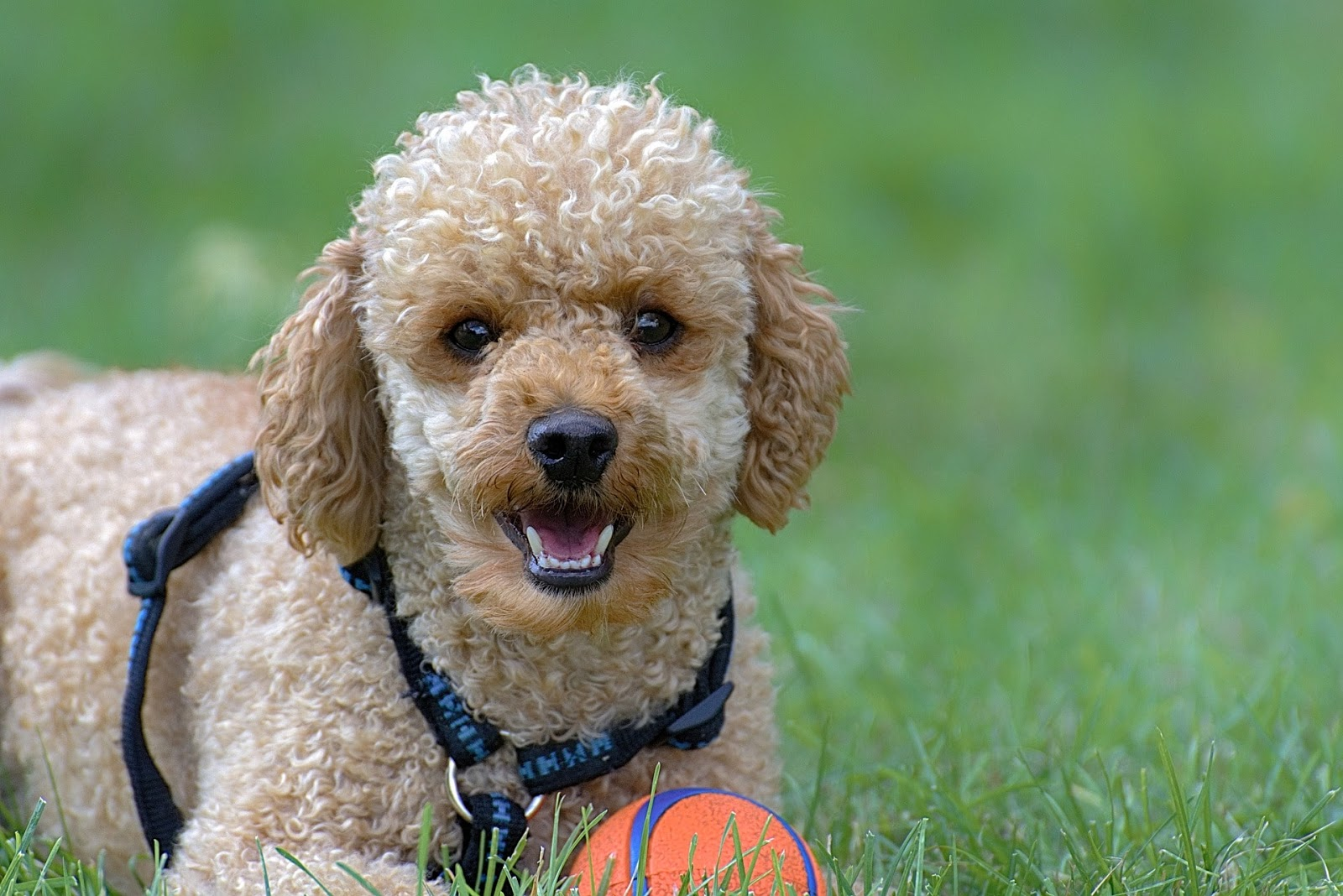 Poodle Dog Breed All Breeds