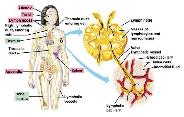 Struktur limfonodus