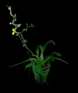 oncidium flower