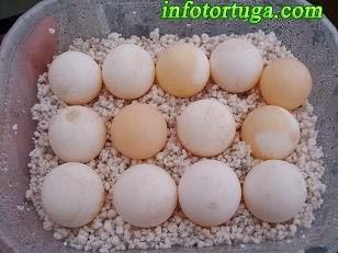 Huevos de Chelydra serpentina