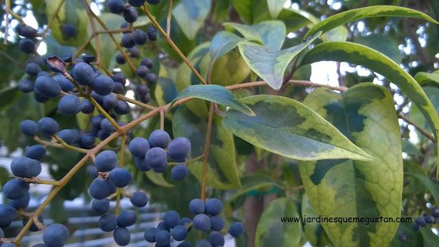 Fruto y hojas de aligustre