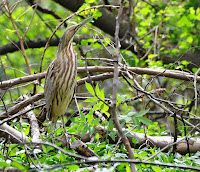 American Bittern, Tower Grove Photo by Andy Reago and Chrissy McClarren