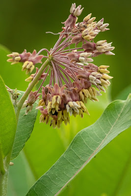 Common Milkweed, Indiana Dunes National Park