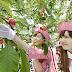 サクランボ狩りシーズン到来!神町りんご研究所
