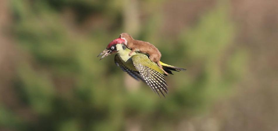 Baby Weasel Caught Riding On A Woodpecker's Back