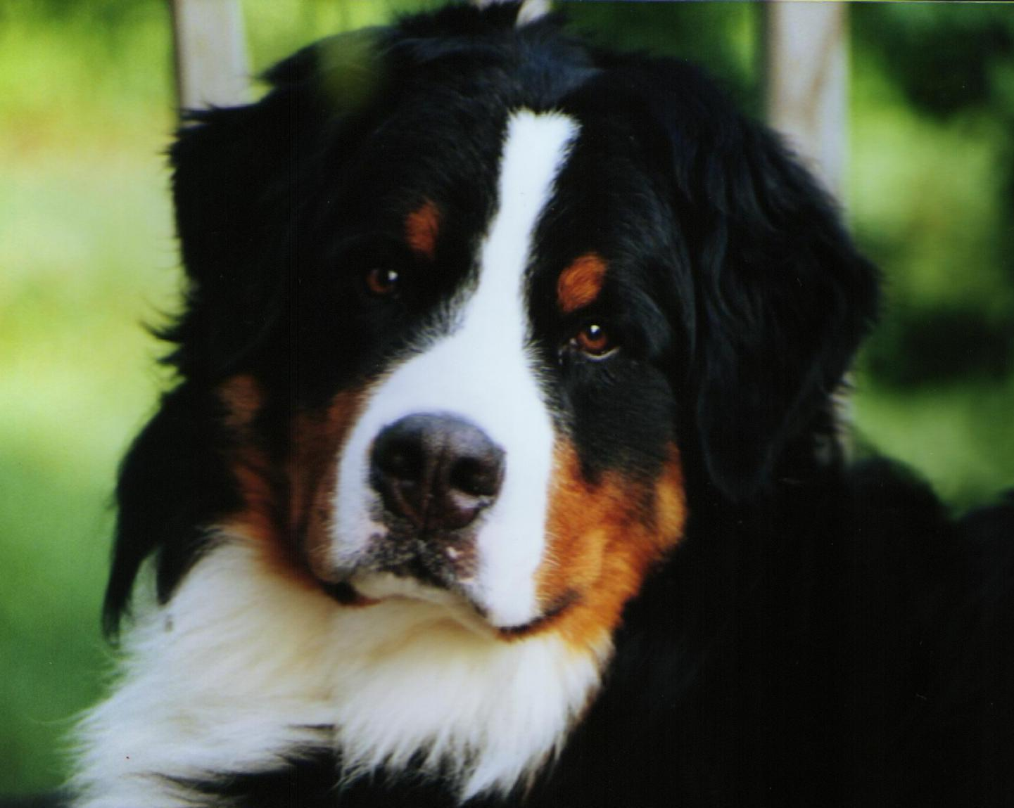The dog in world: Bernese Mountain Dogs
