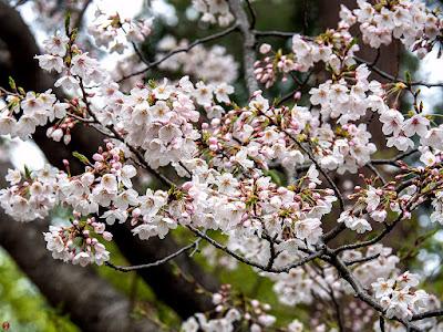 Somei-yoshino (Cerasus ×yedoensis) sakura flowers: Engaku-ji