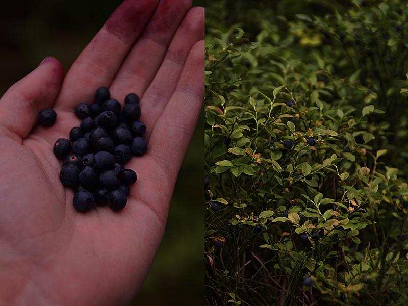 Blaubeeren/ Heidelbeeren pflücken im Juli im Wald Fotostory dark and moody