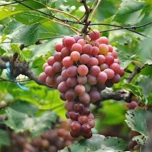 Harga Hemat! Bibit Buah Anggur Red Prince Tinggi 20Cm Kota Bekasi #Jual Bibit Buah Genjah