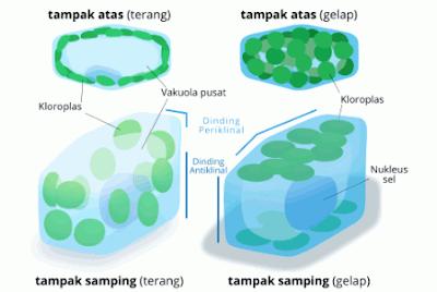 Lokasi Kloroplas
