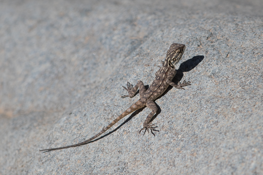 Female Anderson's Rock Agama