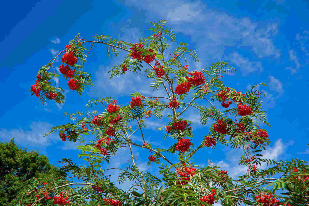 Mountain-ash, Rowan tree
