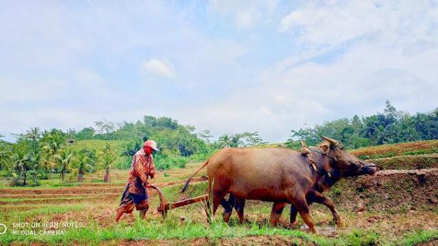 Kurang Tertarik Pakai Traktor, Mbah Kus Lestarikan Bajak Sawah Dengan Kerbau Pertanian Ponorogo