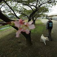 大田原の美原公園の季節外れの桜と白柴チロ