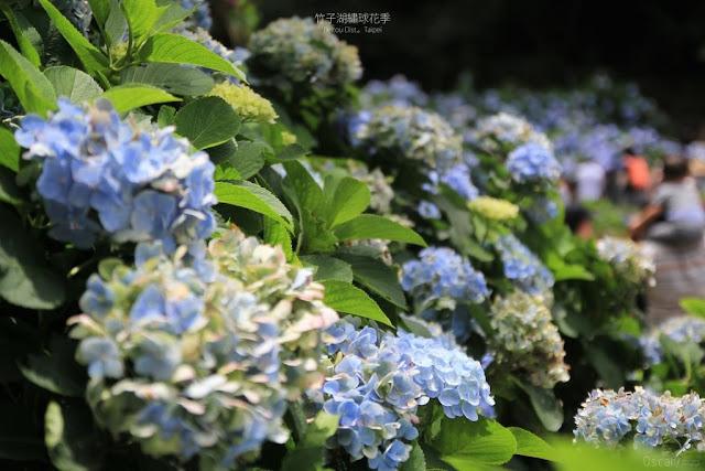 2017 繡球花季