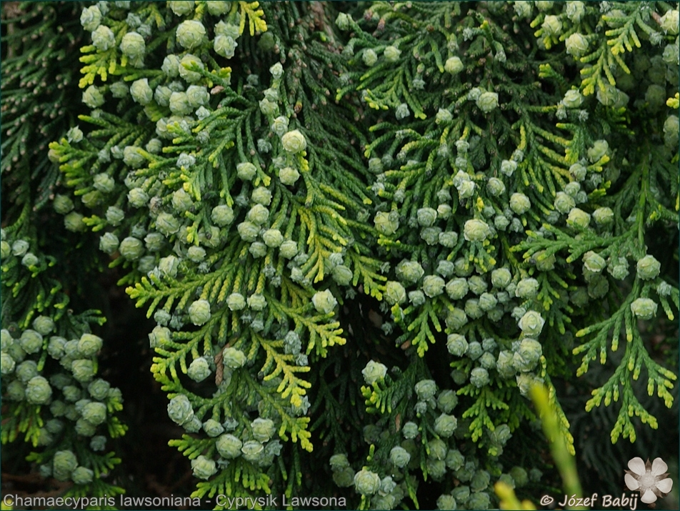 Chamaecyparis lawsoniana fruits - Cyprysik Lawsona owoce