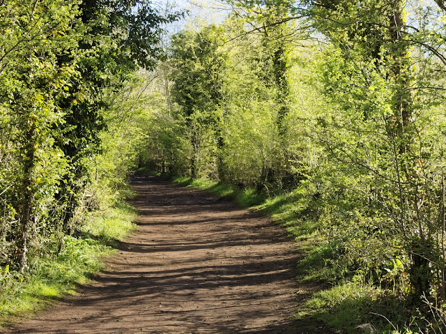 Path between bright green hawthorn bushes