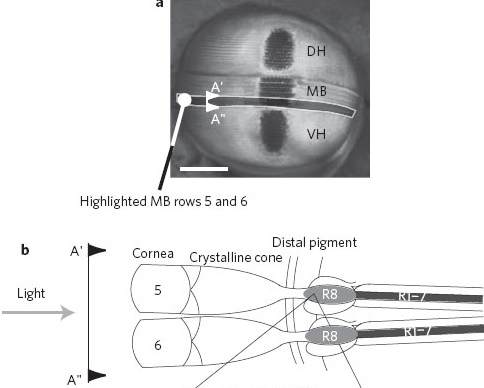 a, A frontal view of the compound eye of Odontodactylus scyllarus with the midband rows 5 and 6 highlighted by the greyed out region. VH, ventral hemisphere; DH, dorsal hemisphere; MB, midband. The section A'–A'' is shown schematically in b. Scale bar, 800 m. b, Schematic of a transverse section (A'–A'' in a). This illustrates the arrangement of the 5th and 6th rows of the midband and the location of the 8th retinular cell (R8) quarter-wave retarder and the underlying R1–7 cells. The R8 cell is 150 m long.