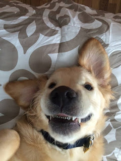 http://www.freep.com/story/news/local/michigan/2016/03/01/michigan-golden-retriever-gets-braces/81144586/