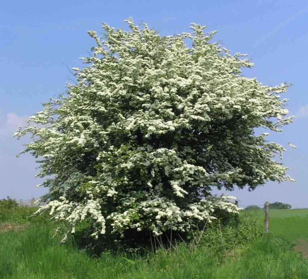 Trees Planet: Crataegus monogyna – Oneseed Hawthorn – May
