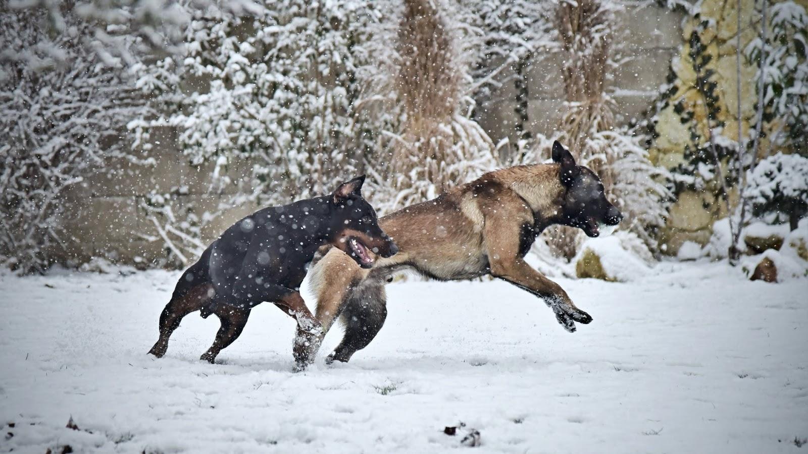 Anjing Belgian Malinois Ras Pelindung Penuh Energi Untuk Pemilik Berpengalaman
