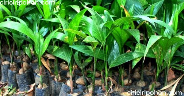 ciri ciri pohon bibit pinang