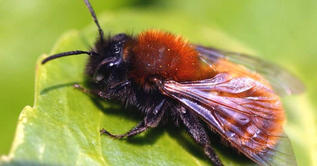 vorarlberger bloghaus natur freunde umwelt wildbienen in vorarlberg. Black Bedroom Furniture Sets. Home Design Ideas