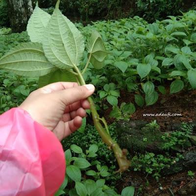 batang daun pohpohan sumber pangan dari hutan