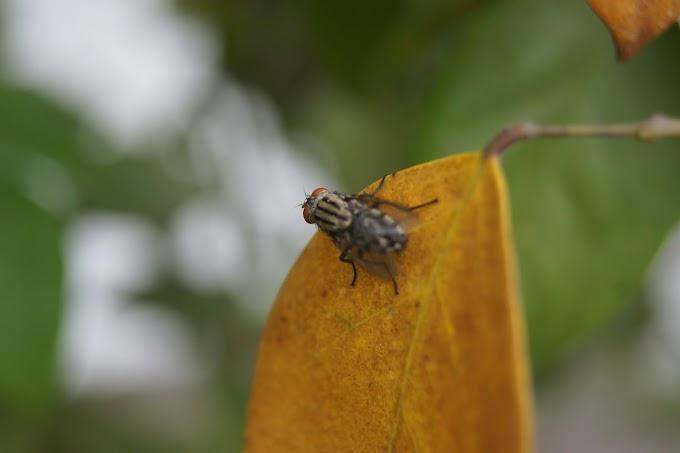 Eh, lalatnya hinggap di daun Belimbing