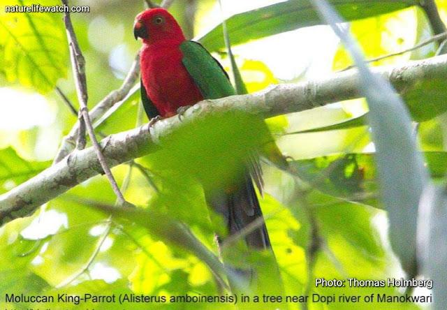 Moluccan King Parrot in Manokwari's lowland forest
