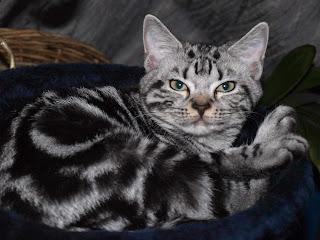 American Shorthair  cat