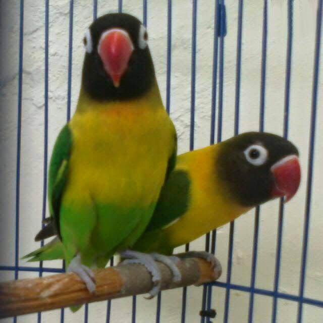 Download 77+  Gambar Burung Lovebird Kawin HD Terbaru