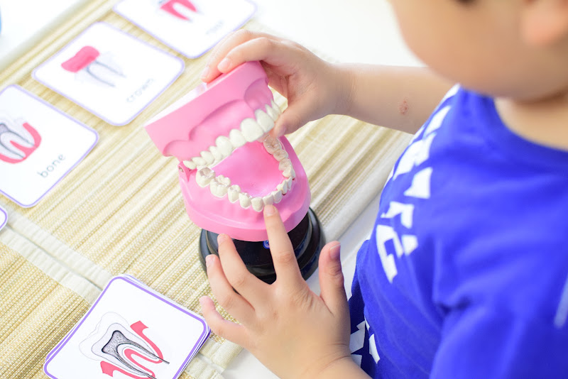 Dental Themed Unit: Primary and Permanent Teeth Development
