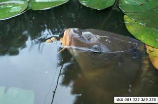 Master Umpan Ikan Mas Kilo Gebrus