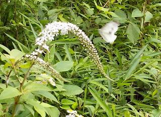 白い花と白い蝶