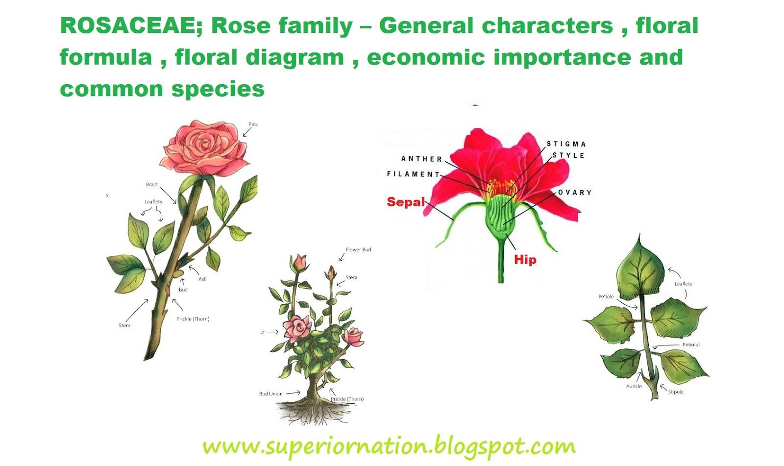 medium resolution of rosaceae rose family general characters floral formula floral diagram economic importance