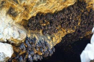 Kelelawar di goa lawah