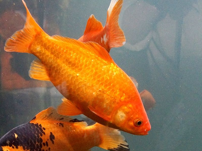 pengertian pembenihan ikan