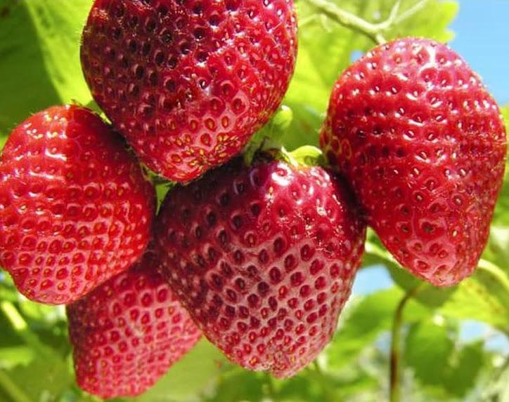 X3Na Bibit Strawberry Giant Bibit Buah Tanaman Pariaman