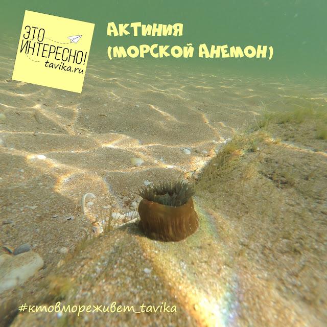 актиния Черного моря